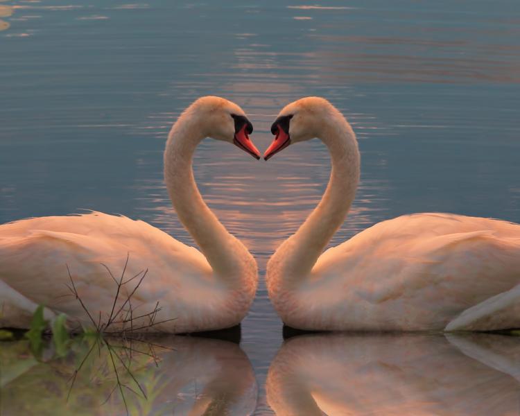 swan heart shape