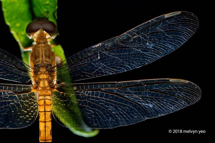 dragonfly_by_melvynyeo_dco1vef-pre
