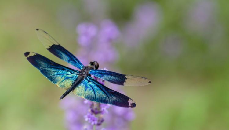 dragonfly-pictures_292886542